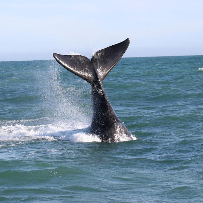 Whale Tail Grootbos