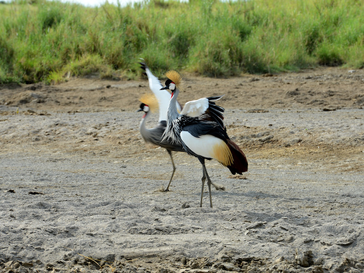 Crowned Cranes Safari