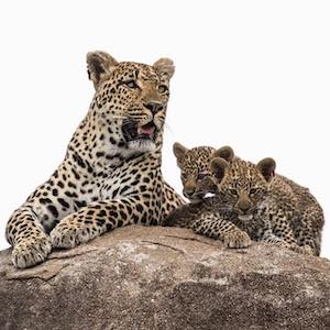 leopard and cubs MalaMala
